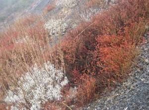 Buckwheat (Eriogonum) & Sage (Salvia apiana)