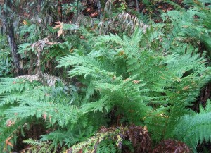 Giant Chain Fern (Woodwardia fimbriata)