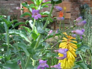 Penstemon spectabulis & Torch Plant