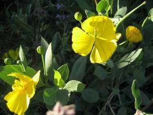 Santa Cruz Island Poppy